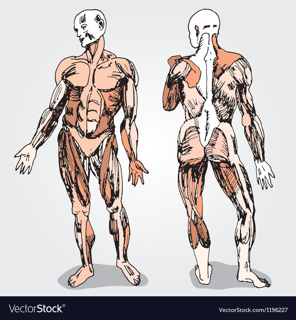 Human body vector | Price: 1 Credit (USD $1)