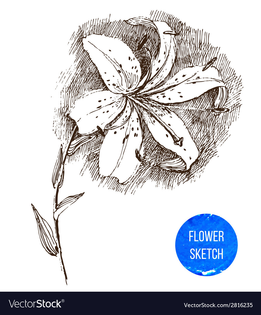 Hand drawn lily flower vector | Price: 1 Credit (USD $1)