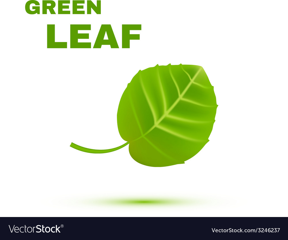 Green leaf isolated on white background vector | Price: 1 Credit (USD $1)