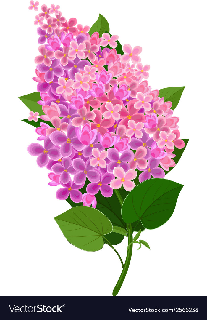 Lilac flower isolated vector | Price: 1 Credit (USD $1)