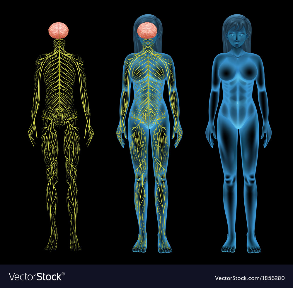Female nervous system vector | Price: 1 Credit (USD $1)