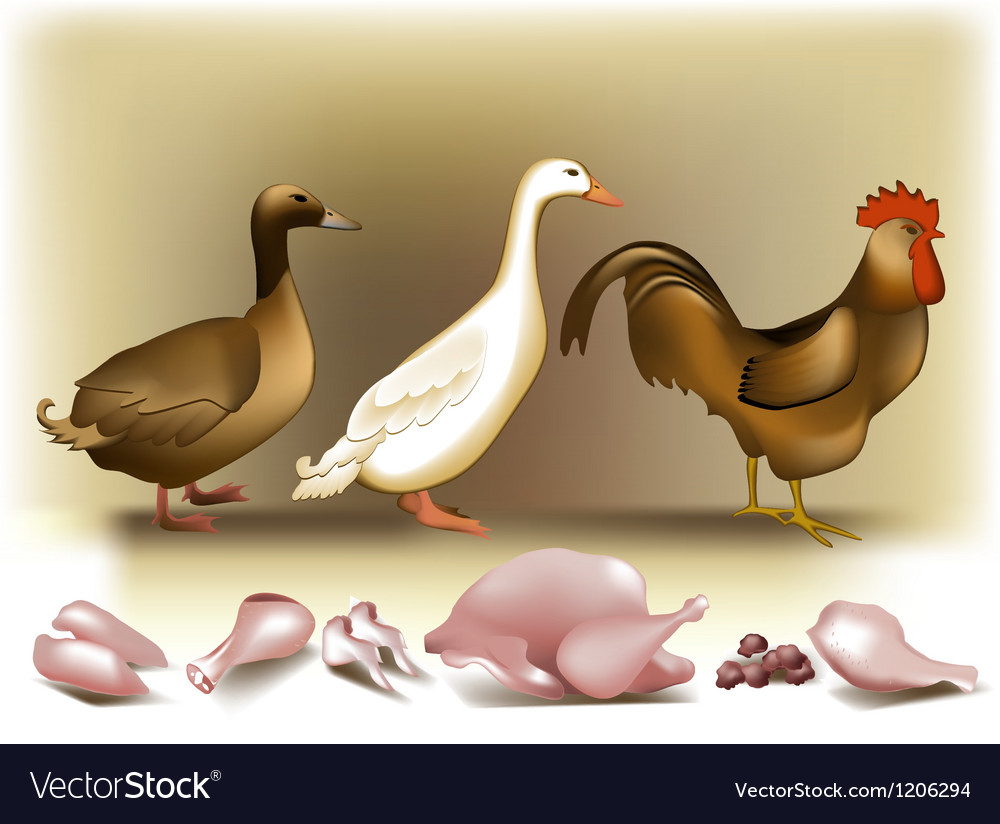 Poultry vector | Price: 3 Credit (USD $3)
