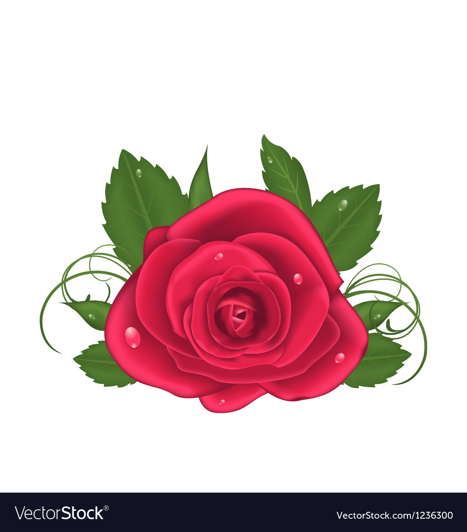 Close-up beautiful rose isolated on white vector | Price: 1 Credit (USD $1)