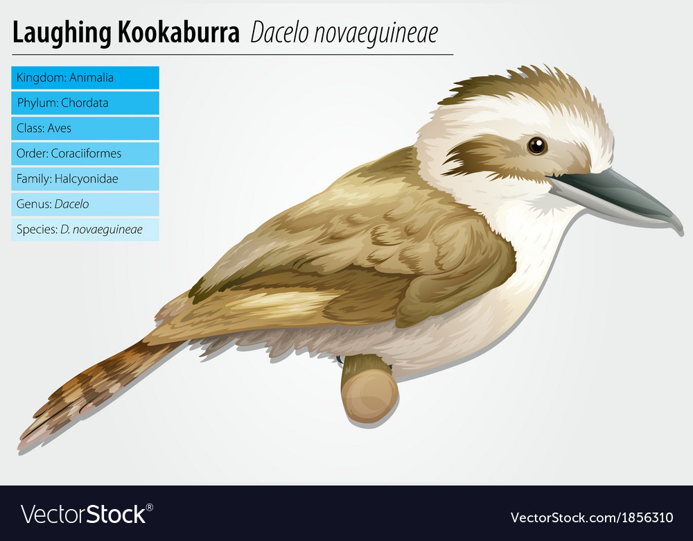 Laughing kookaburra vector | Price: 3 Credit (USD $3)