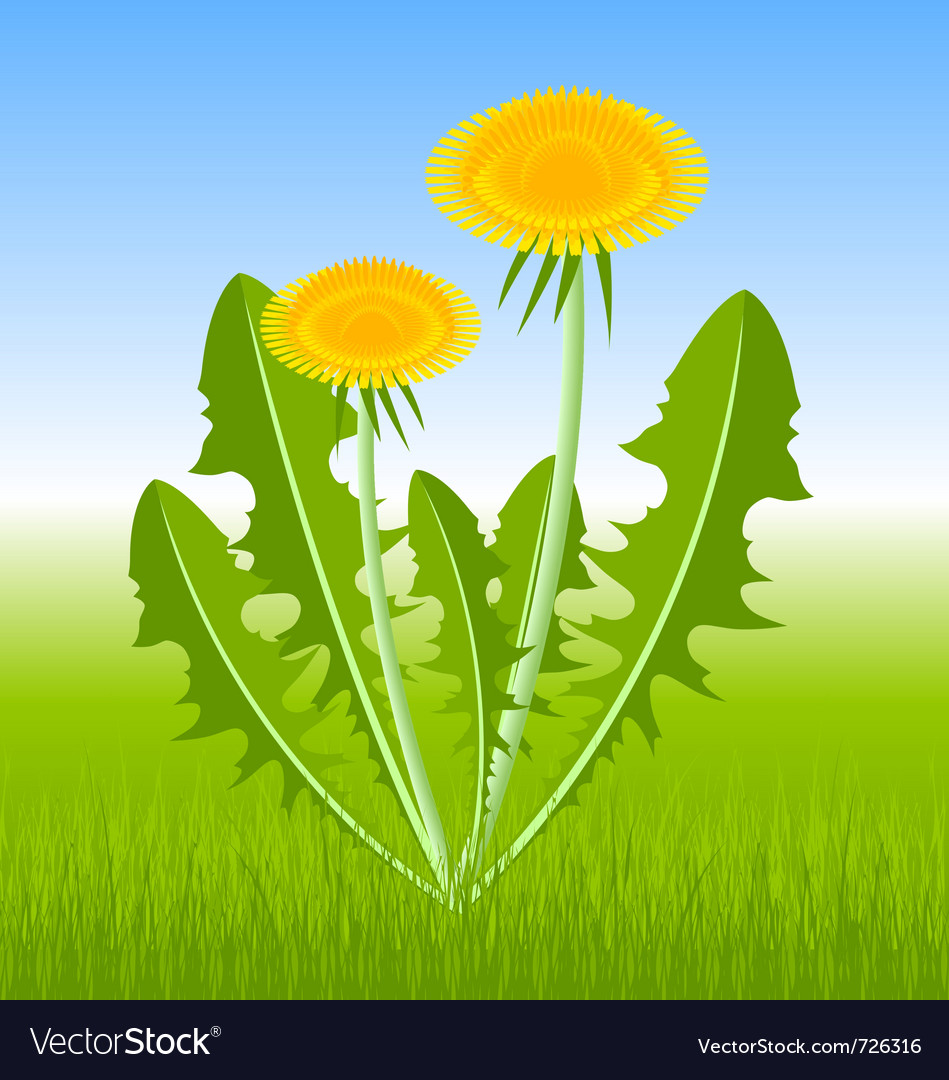 Dandelion herb vector | Price: 1 Credit (USD $1)