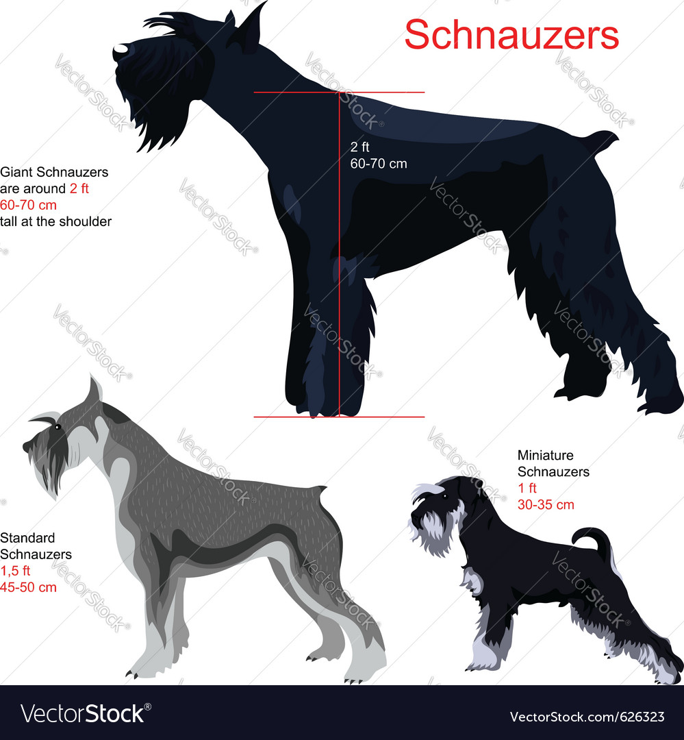 Schnauzer breed vector | Price: 1 Credit (USD $1)