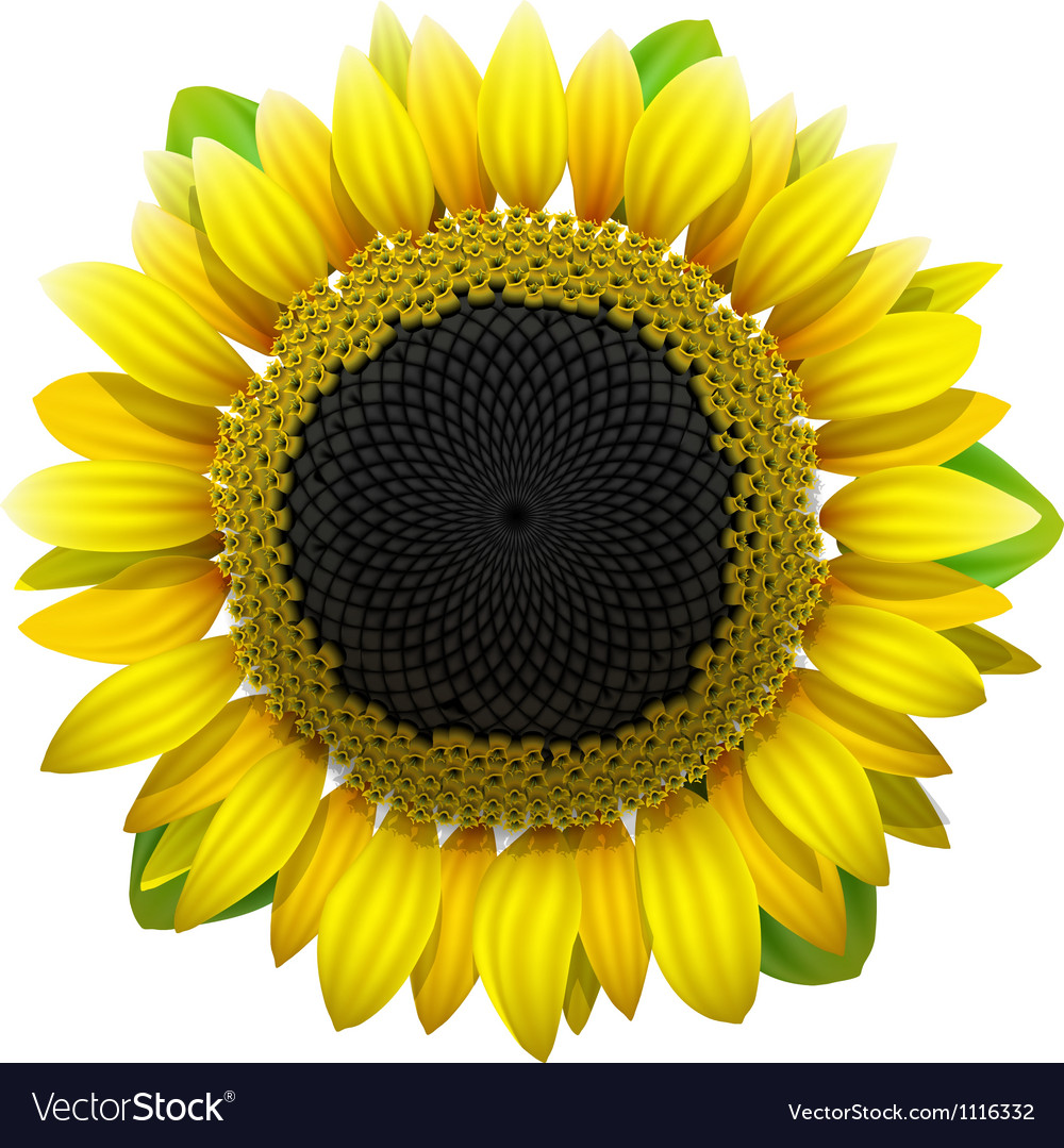 Sunflower on white background vector | Price: 1 Credit (USD $1)