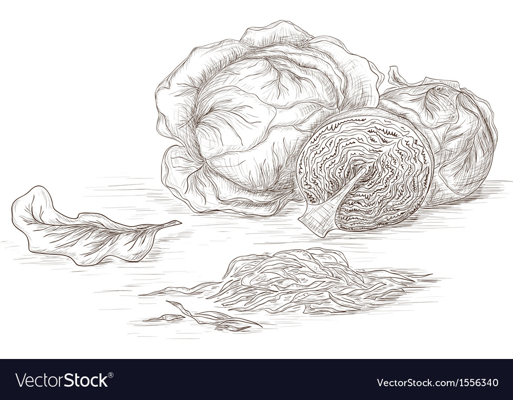 Hand drawn cabbage vector | Price: 1 Credit (USD $1)