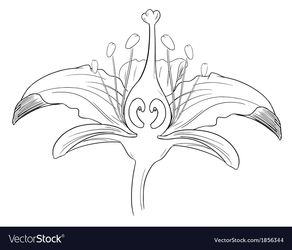 Tiger lily flower outline vector | Price: 1 Credit (USD $1)