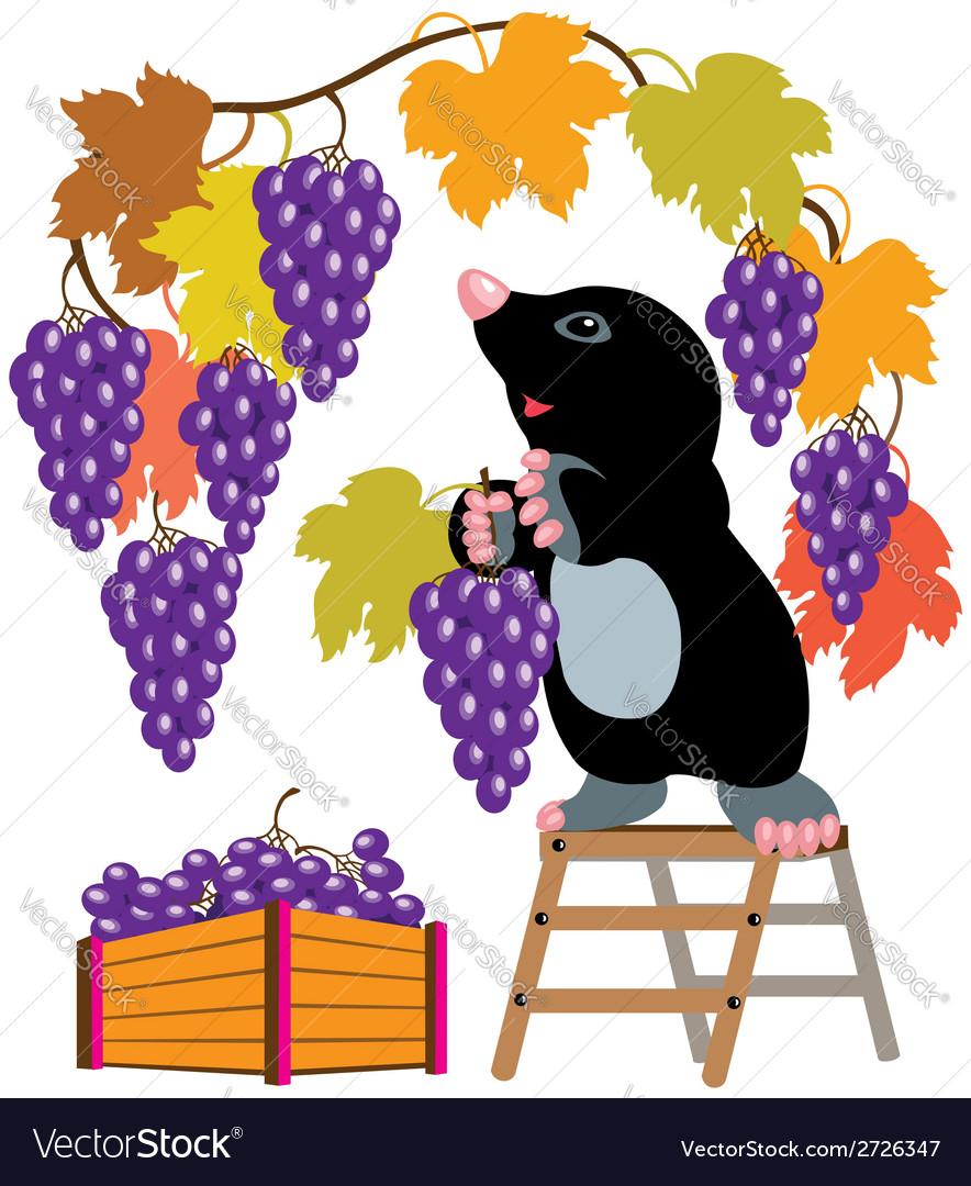 Mole harvesting grapes vector | Price: 1 Credit (USD $1)