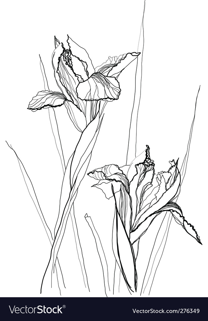 Drawing irises vector | Price: 1 Credit (USD $1)