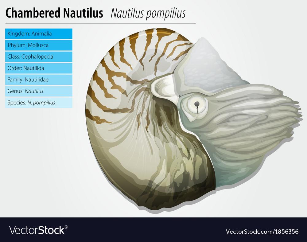 Nautilus -nautilus pompilius vector | Price: 3 Credit (USD $3)