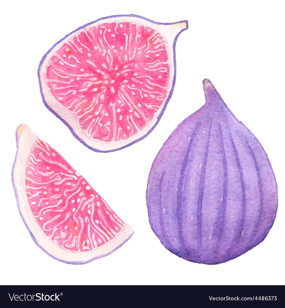 Common figs watercolor whole fig part and slice vector | Price: 1 Credit (USD $1)