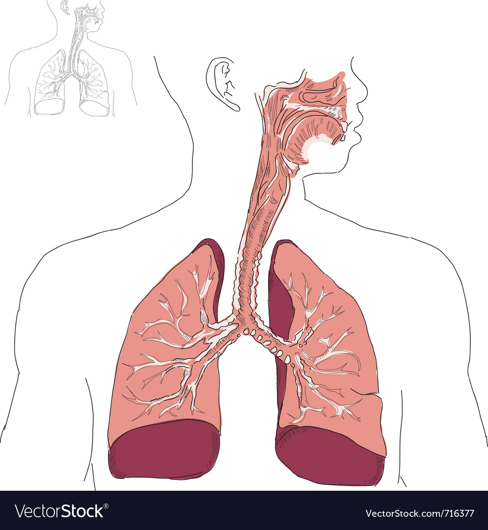 Respiratory system vector | Price: 1 Credit (USD $1)