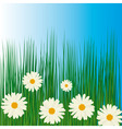 White chamomiles in green grass vector