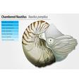 Nautilus -nautilus pompilius vector