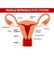 Uterus and uterine tubes vector