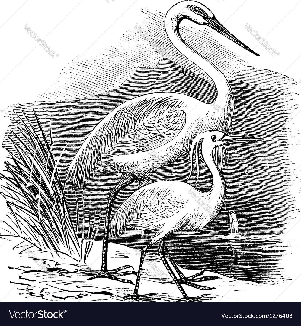 Great egret alba engraving vector | Price: 1 Credit (USD $1)