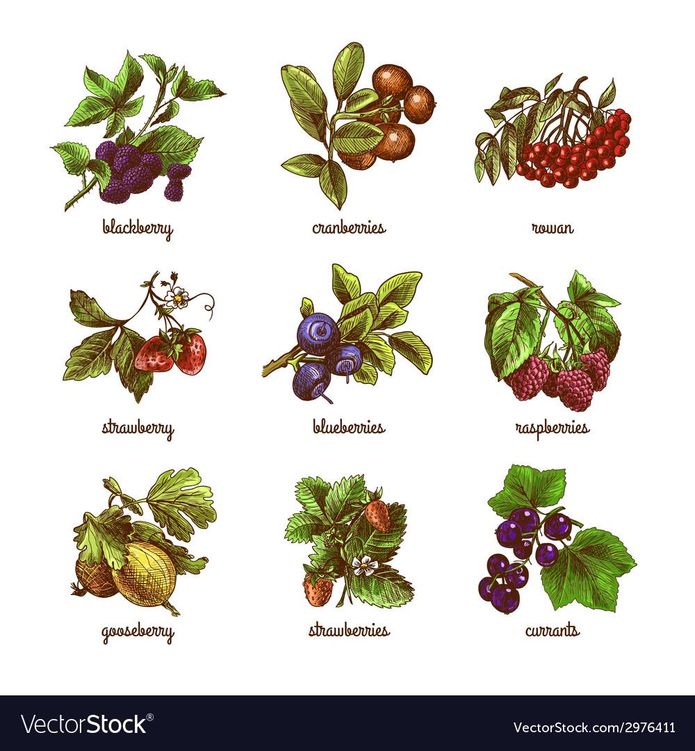 Sketch berries colored set vector