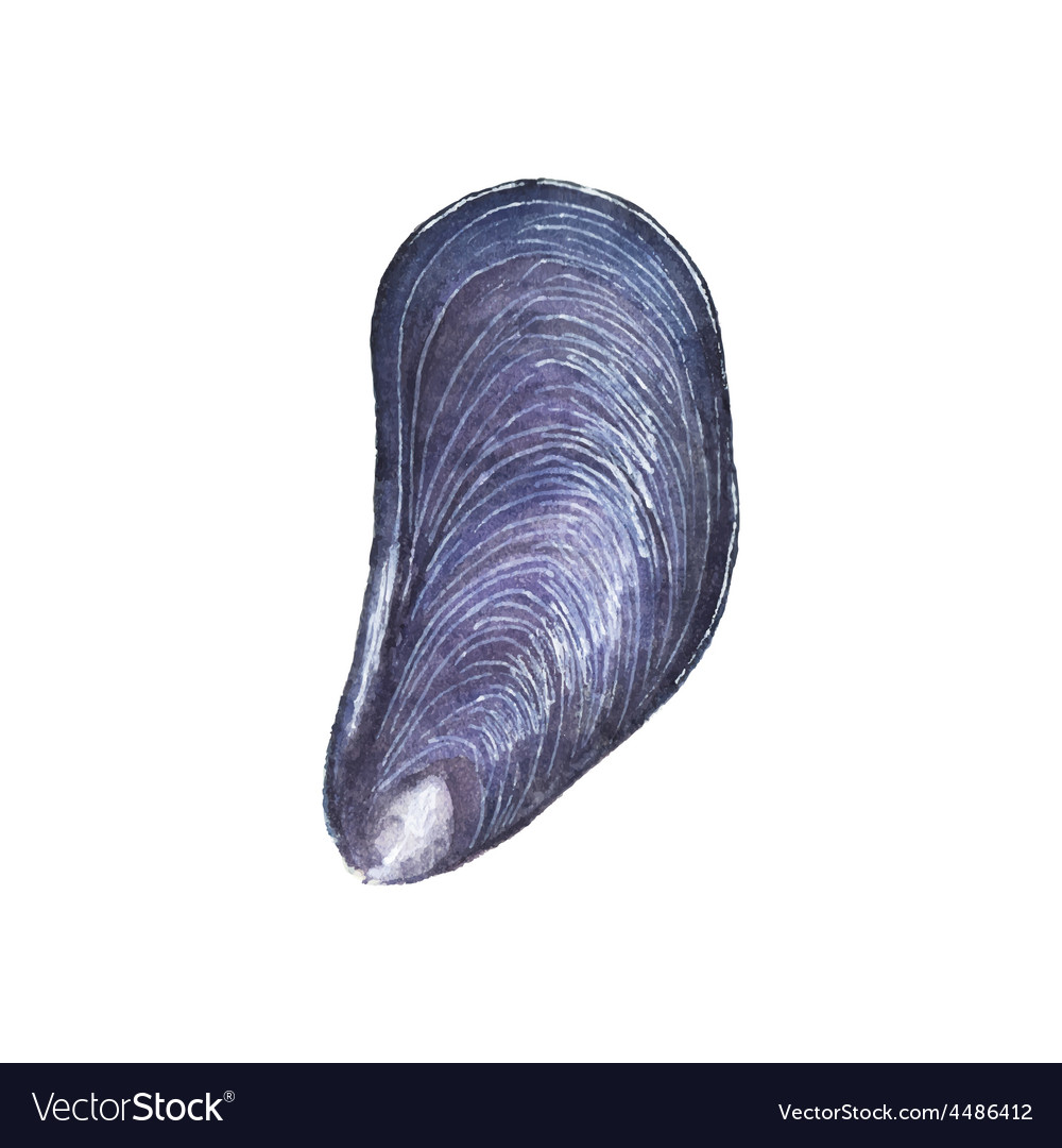 Watercolor mussel on the white background vector | Price: 1 Credit (USD $1)