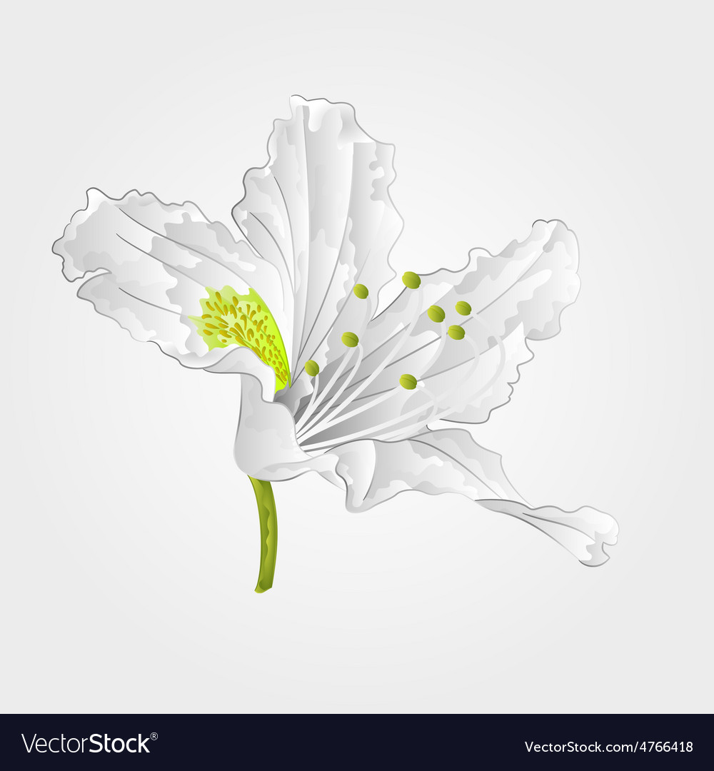 Rhododendron mountain spring shrub white flower vector | Price: 1 Credit (USD $1)