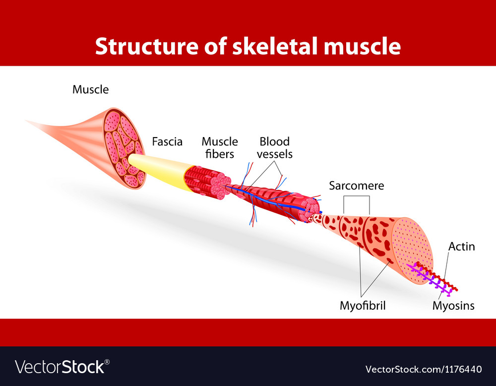 Structure of skeletal muscle vector | Price: 1 Credit (USD $1)