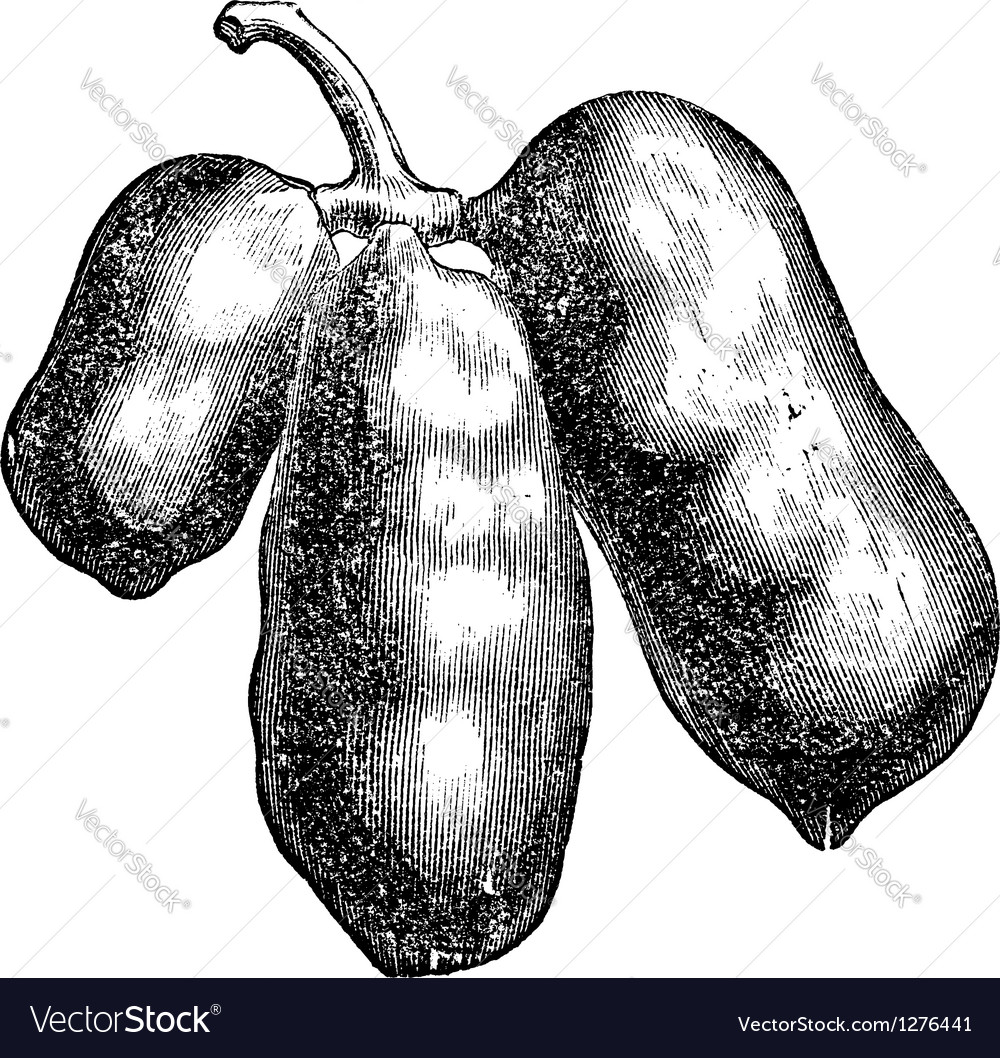 Common pawpaw engraving vector | Price: 1 Credit (USD $1)