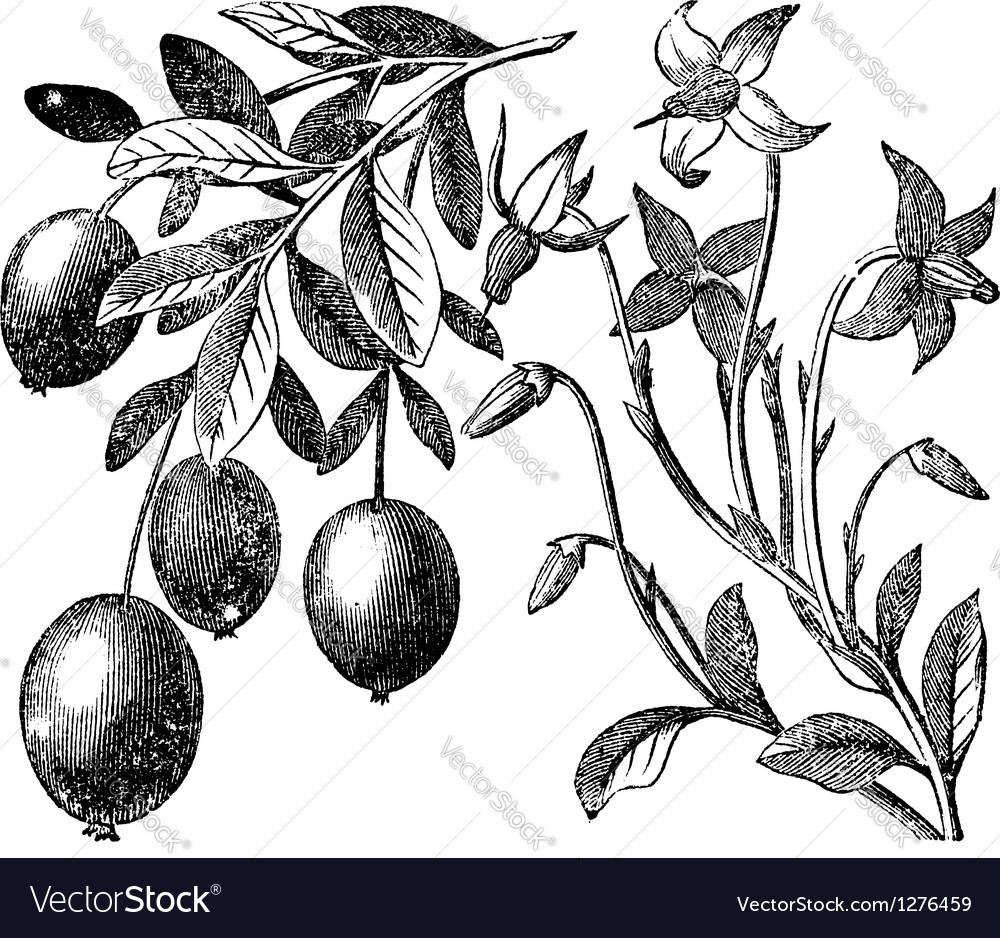 Cranberry vintage engraving vector | Price: 1 Credit (USD $1)
