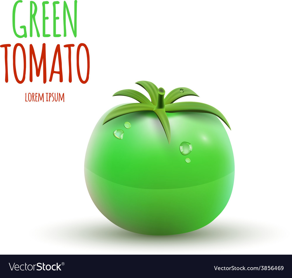 Green tomato isolated on white background vector | Price: 1 Credit (USD $1)