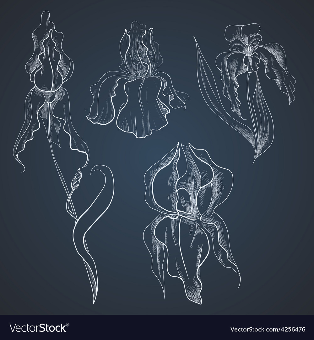 Irises on graphic style vector | Price: 1 Credit (USD $1)