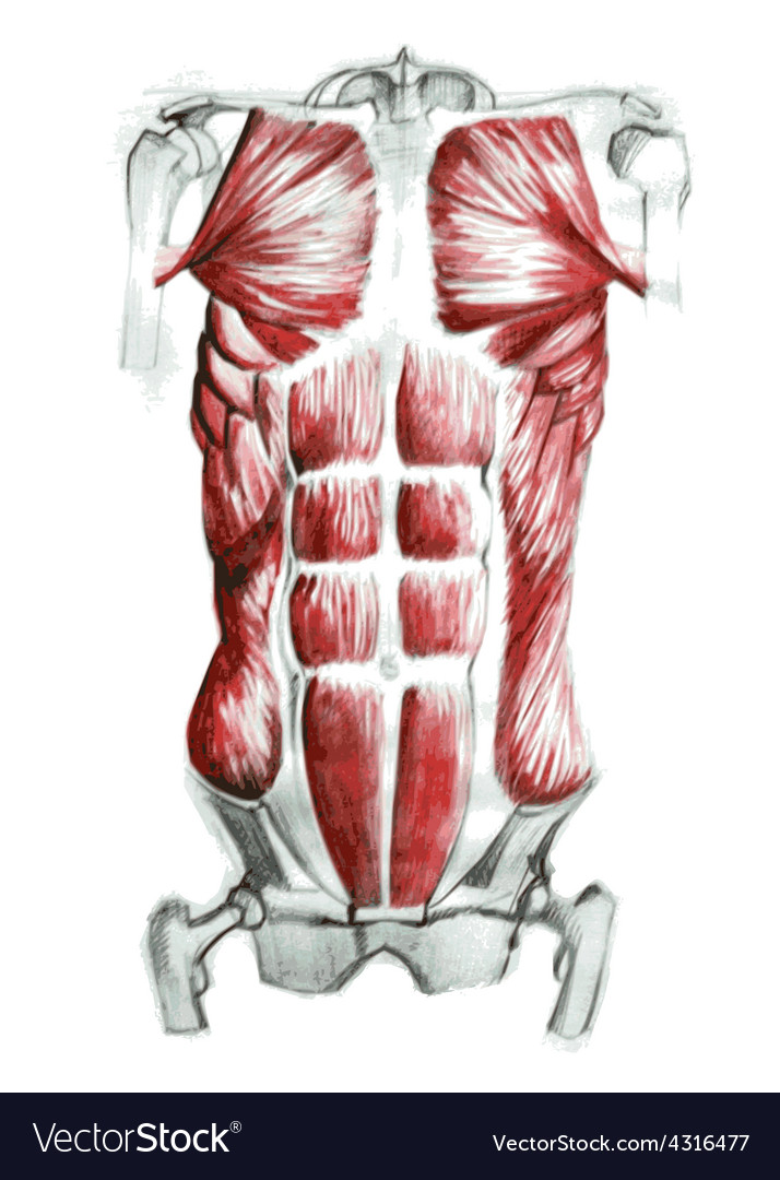 Abdominal muscles vector | Price: 1 Credit (USD $1)