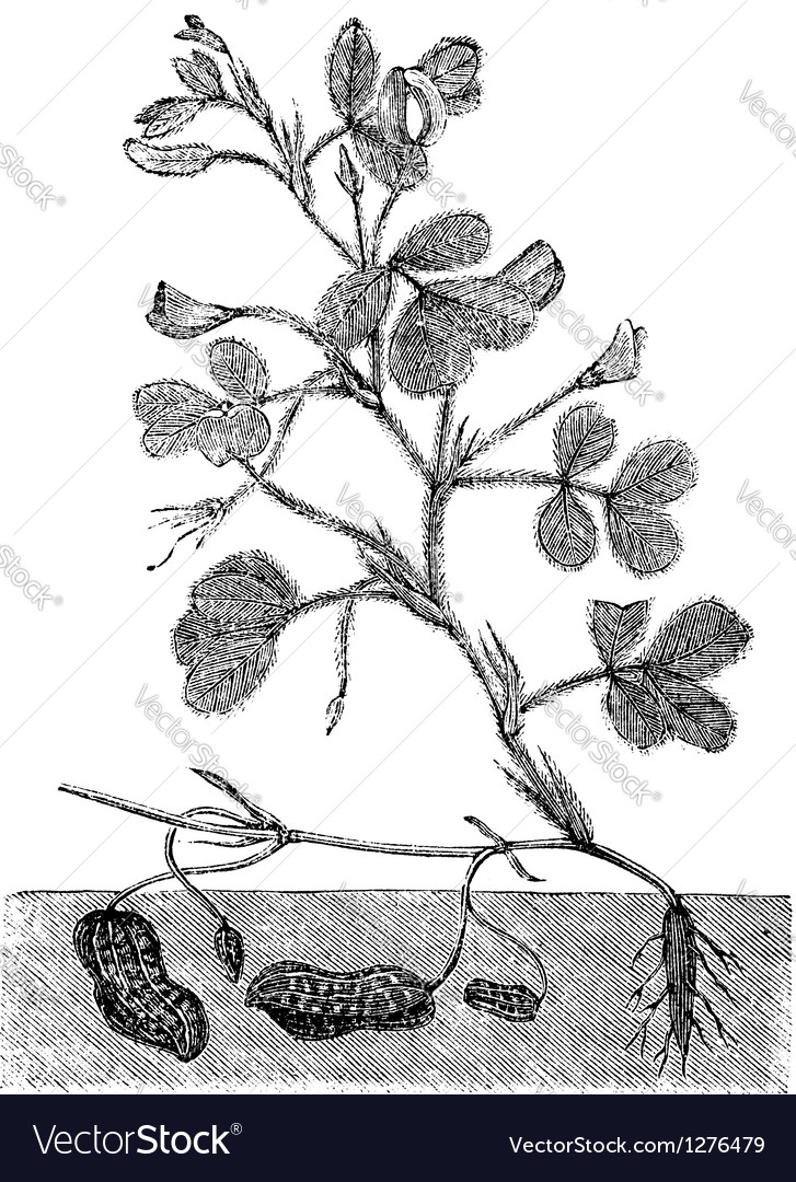 Peanut or groundnut vintage engraving vector | Price: 1 Credit (USD $1)