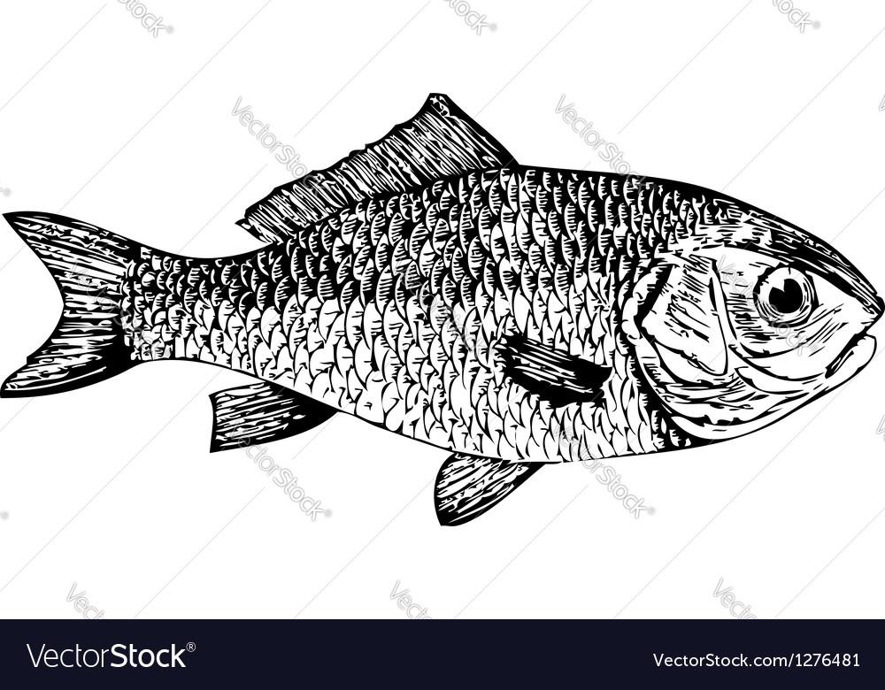 Dorade goldfish cyprinus auratus vector | Price: 1 Credit (USD $1)