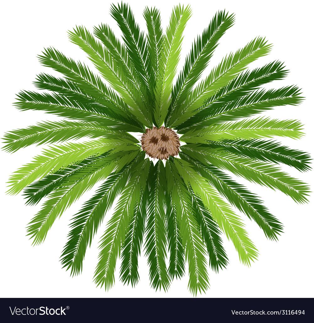 A sago palm tree vector | Price: 1 Credit (USD $1)