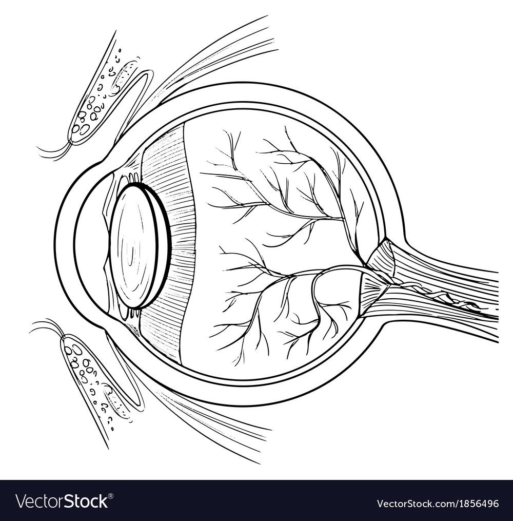 Anatomy of the human eye vector | Price: 1 Credit (USD $1)
