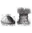 Sea anemone vintage engraving vector