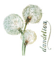Watercolor dandelion vector