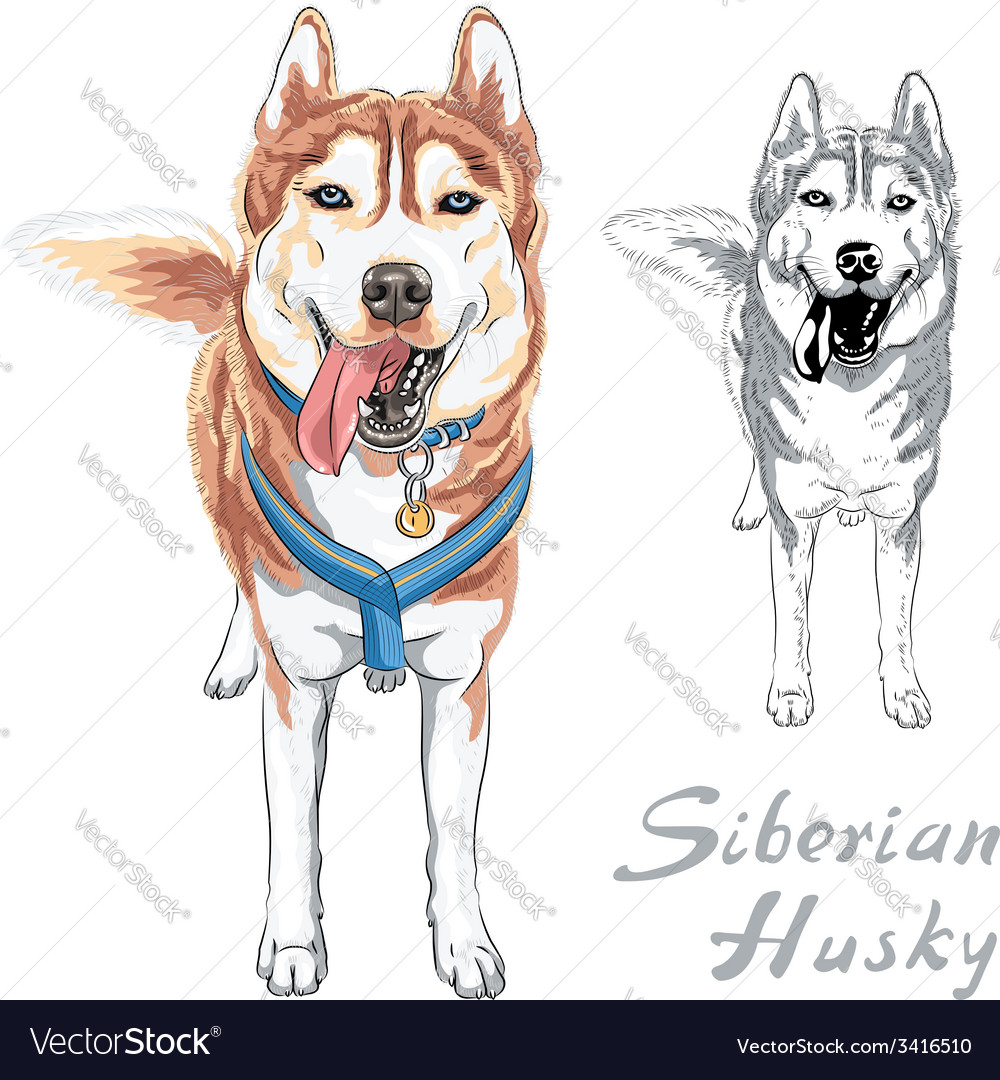 Dog siberian husky breed standng and smiling vector | Price: 1 Credit (USD $1)