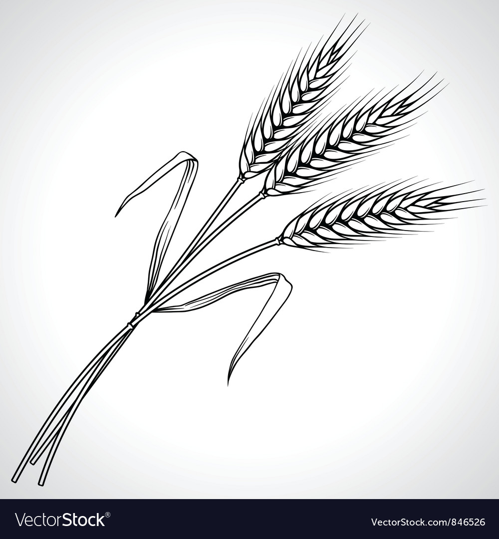 Ripe black wheat ears isolated vector | Price: 1 Credit (USD $1)
