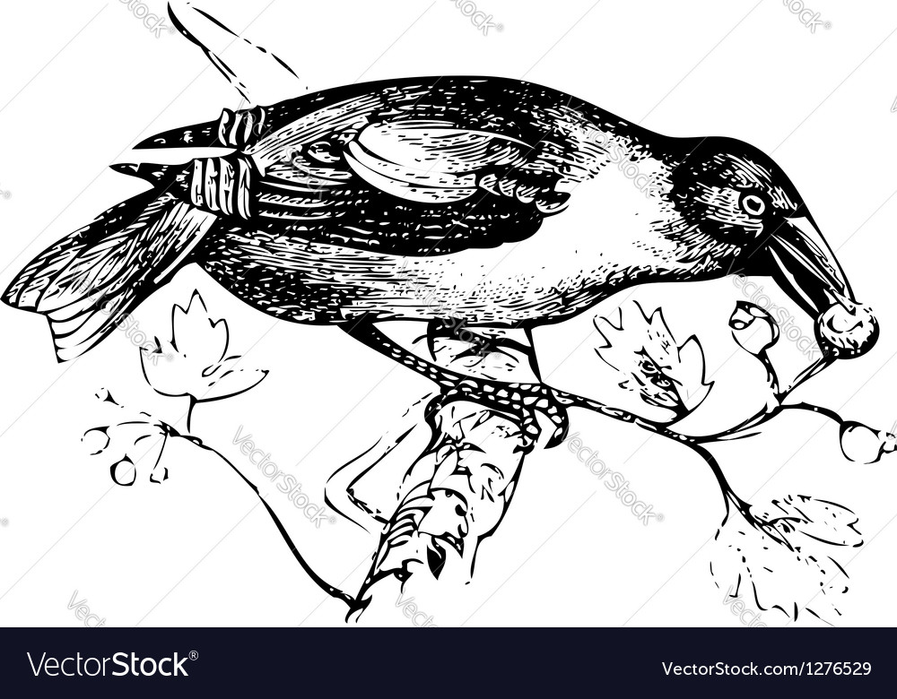 Hawfinch vintage engraving vector | Price: 1 Credit (USD $1)
