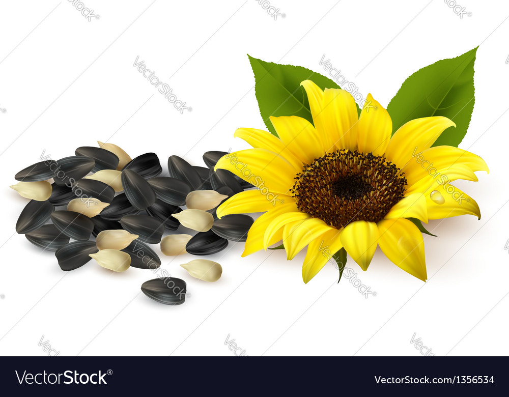 Background with yellow sunflowers and sunflower vector | Price: 3 Credit (USD $3)
