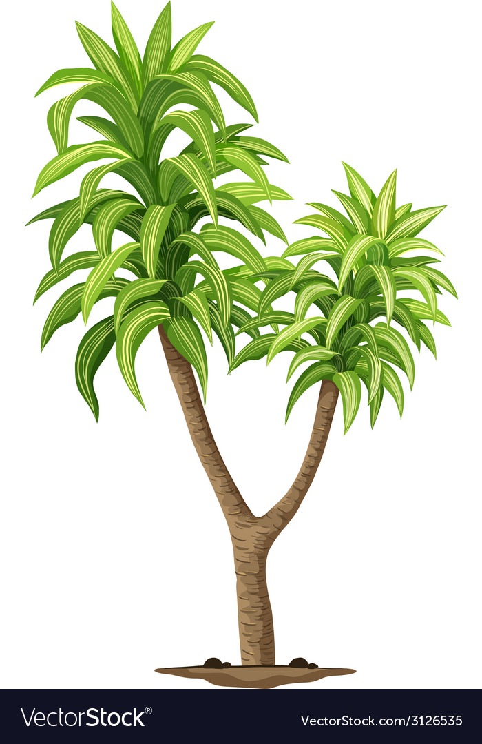 The queen of dracaenas plant vector | Price: 1 Credit (USD $1)