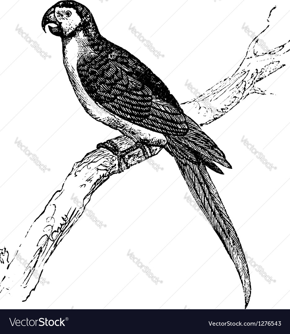 Macaw vintage engraving vector | Price: 1 Credit (USD $1)