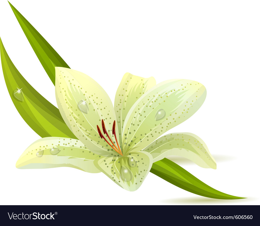 White lily isolated vector | Price: 1 Credit (USD $1)