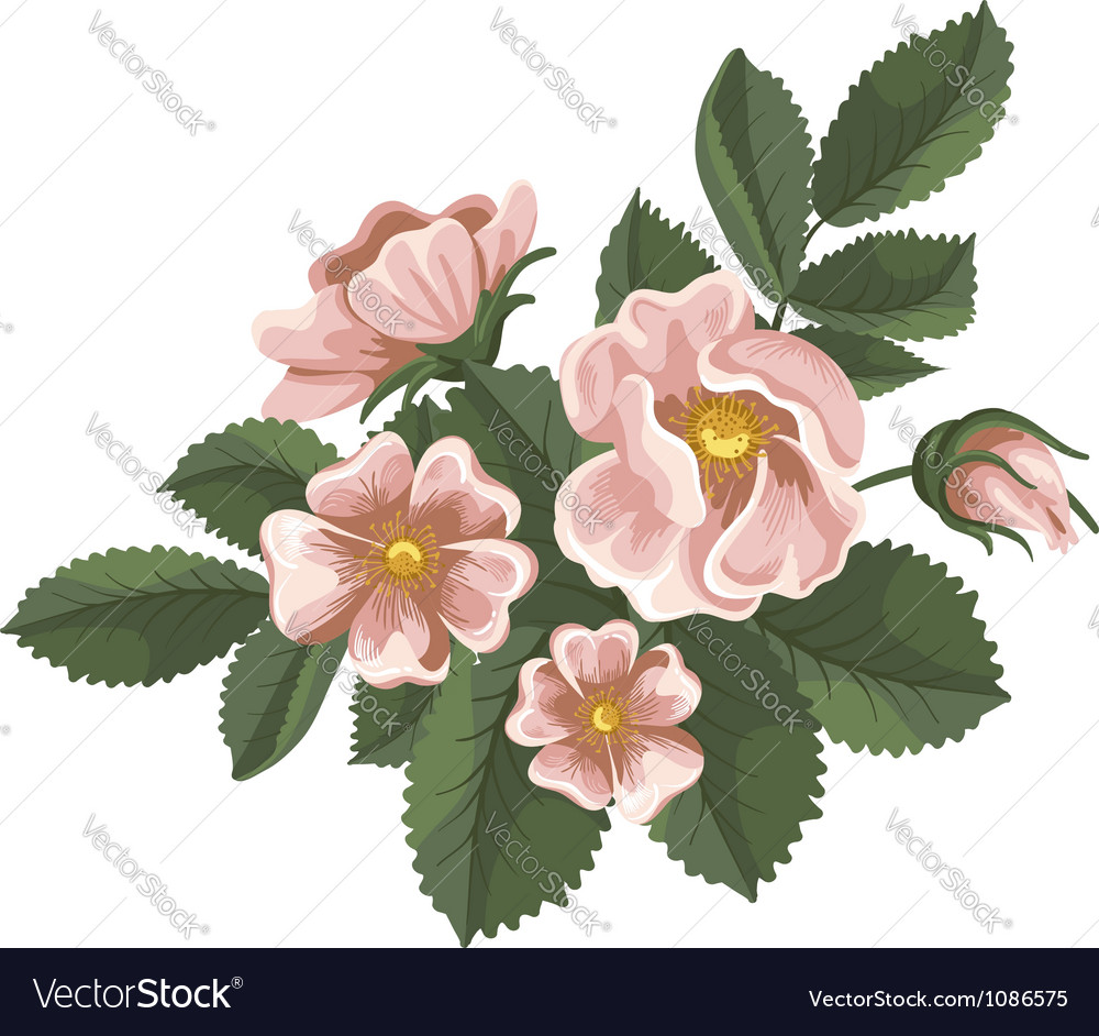 Wild rose vector | Price: 1 Credit (USD $1)