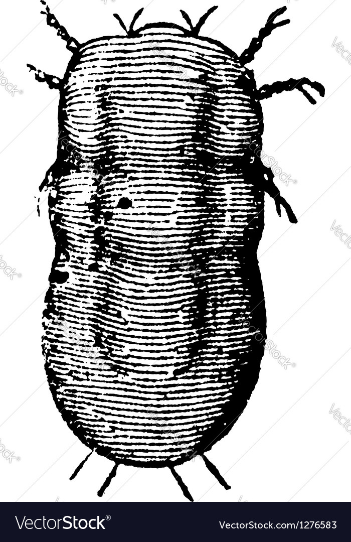 Locust mite vintage engraving vector | Price: 1 Credit (USD $1)