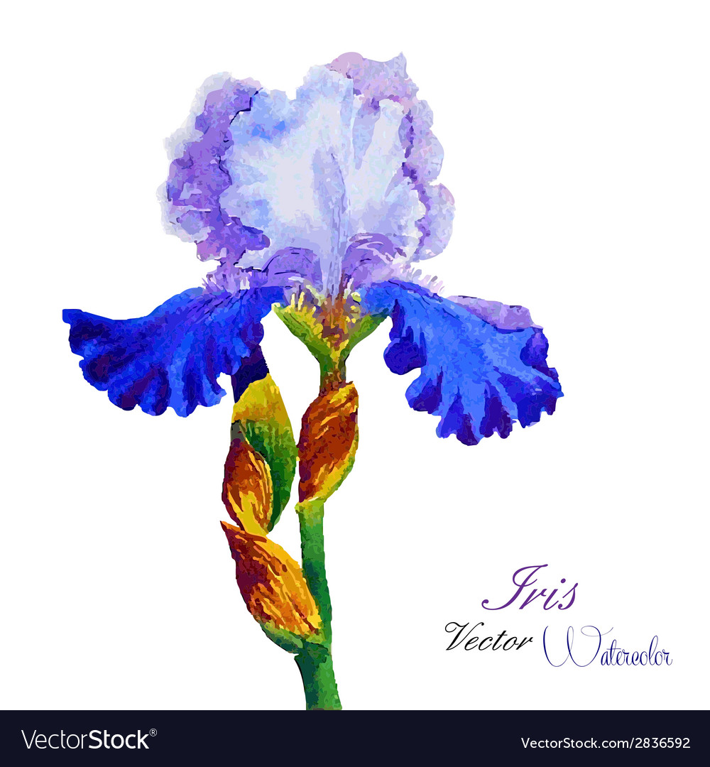 Iris watercolor vector | Price: 1 Credit (USD $1)