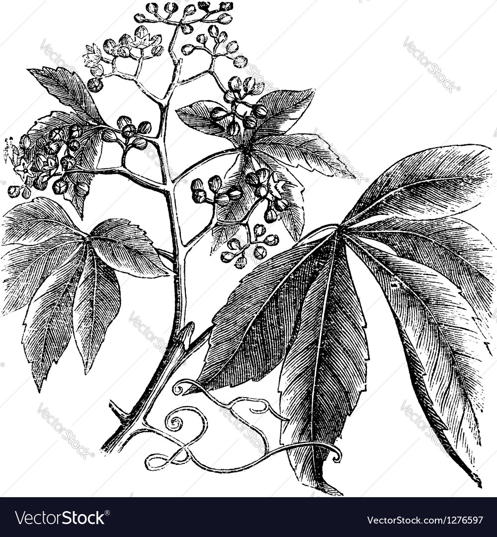 Virginia creeper engraving vector | Price: 1 Credit (USD $1)