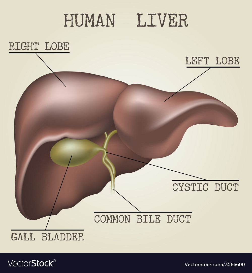 The human liver anatomy vector | Price: 3 Credit (USD $3)