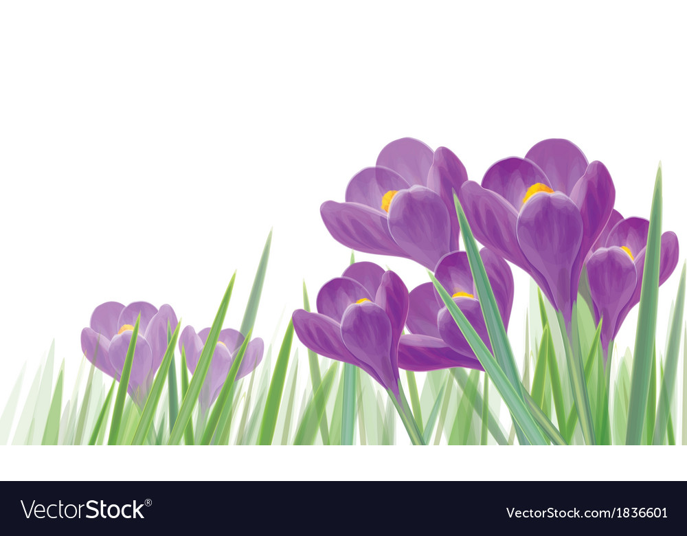 Crocus isolated vector | Price: 1 Credit (USD $1)